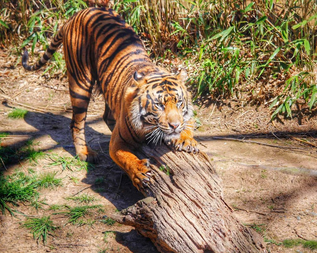 Tiger over the log